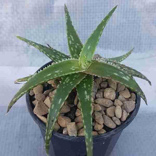 Aloe-spotted-kiwii