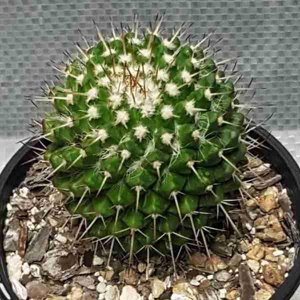 Mammillaria nejapensis var brevispina