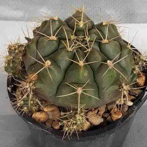 gymnocalycium damsii