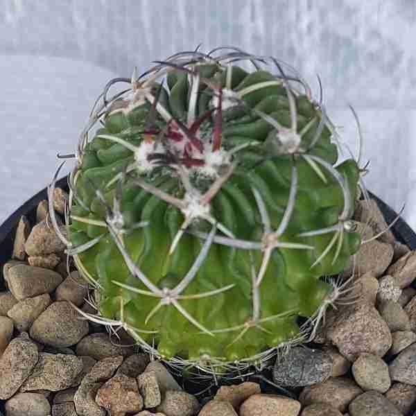 stenocactus lamellosus